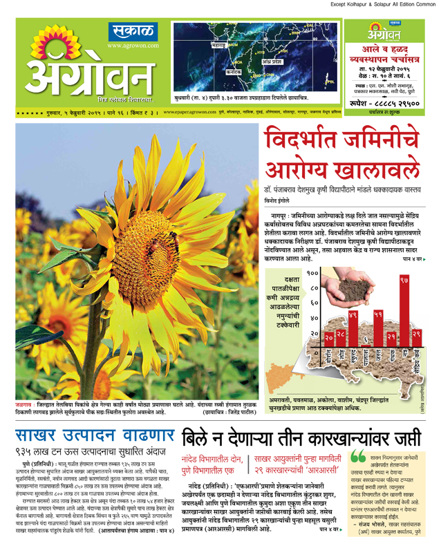 The area under the oil seeds in Jalgaon district has declined considerably in the past several years. Sunflower crop grown in scattered areas during the current Rabi season is currently in the flowering stage.     (Photo: Jitendra Patil)