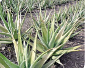 The crop of aloe grown by Sambhajirao Borade, Shegaon (Tal. Jat)
